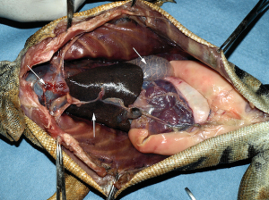 Iguana left lung abdomen